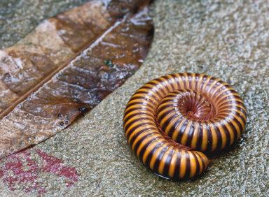 Millipedes & Centipedes