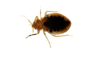 small bed bug white background