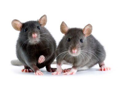 Mice Control in Omaha, NE