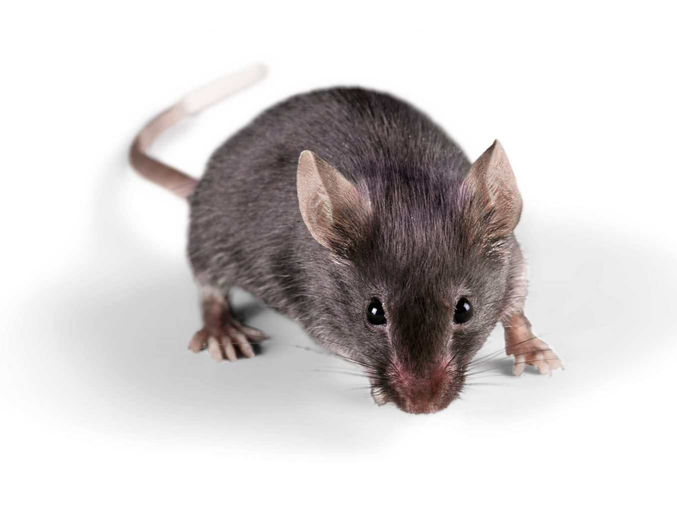 Rodent Extermination Omaha